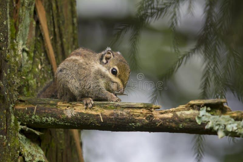 Θαλάσσιος-ριγωτός σκίουρος στοκ εικόνες με δικαίωμα ελεύθερης χρήσης