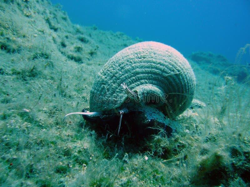 θαλάσσιο σαλιγκάρι στοκ φωτογραφία με δικαίωμα ελεύθερης χρήσης