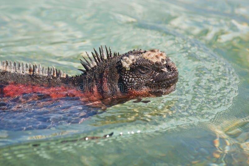 Θαλάσσιο iguana στοκ εικόνες