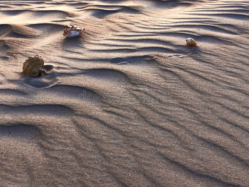 Θαλασσινά κοχύλια στους αμμόλοφους στοκ εικόνες με δικαίωμα ελεύθερης χρήσης