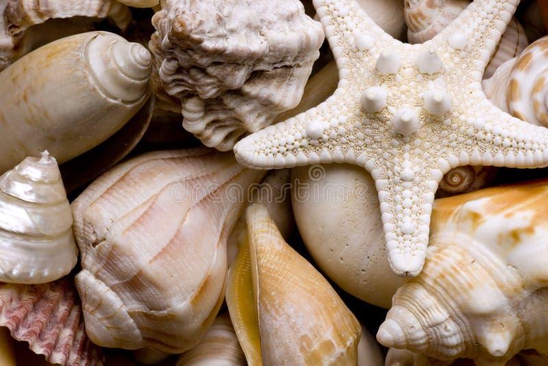 θαλασσινό κοχύλι ανασκόπ& στοκ εικόνα