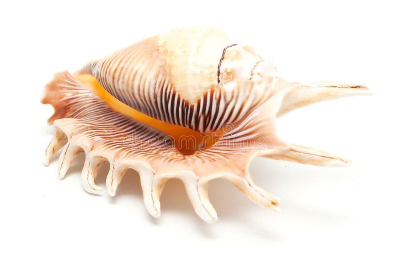 Download θαλασσινό κοχύλι στοκ εικόνα. εικόνα από μαλάκιο, μακροεντολή - 17057793