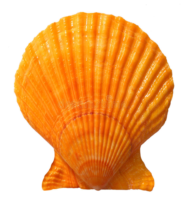 θαλασσινό κοχύλι στοκ εικόνες με δικαίωμα ελεύθερης χρήσης