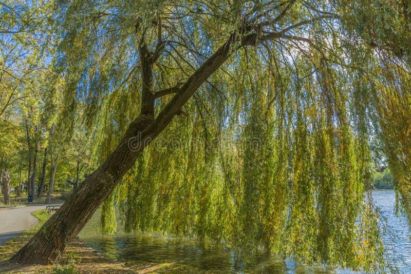 Θαυμάσια εικόνα ενός δέντρου ιτιών κλάματος μια ηλιόλουστη ημέρα φθινοπώρου στοκ εικόνες