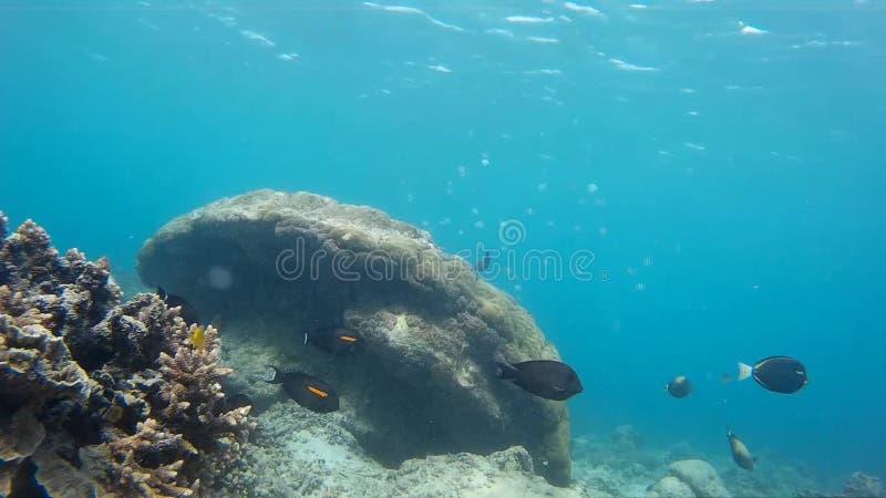 Θαυμάσια κοραλλιογενής ύφαλος Gili, εξωτικά ψάρια απόθεμα βίντεο