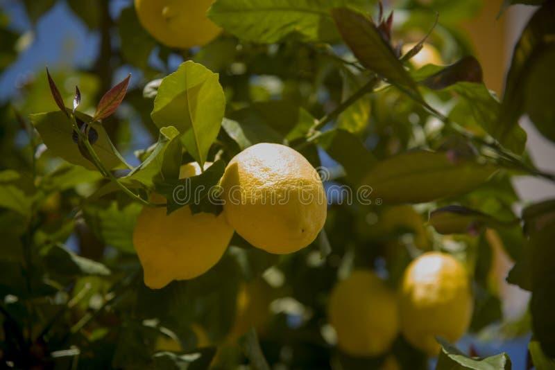 Θαυμάσια λεμόνια στον κλάδο στοκ εικόνες με δικαίωμα ελεύθερης χρήσης