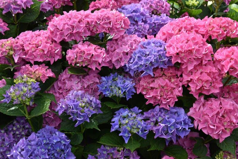 Θαυμάσια μπλε και ρόδινα λουλούδια hydrangea στοκ φωτογραφία με δικαίωμα ελεύθερης χρήσης