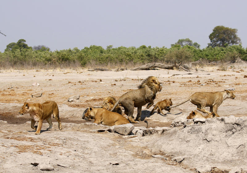 Θαυμάσια υπερηφάνεια των λιονταριών στη δράση στοκ εικόνα με δικαίωμα ελεύθερης χρήσης