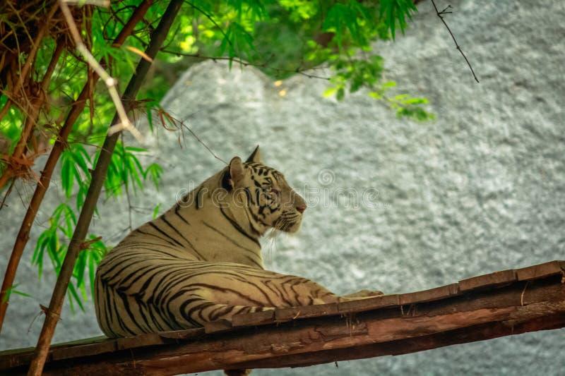 Θαυμάσια χαριτωμένη άσπρη τίγρη στοκ φωτογραφία