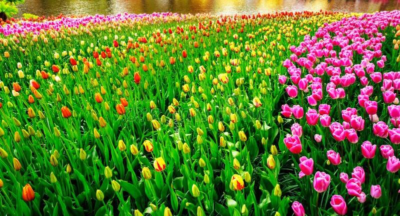 Θαυμάσιο θέαμα τουλιπών στους κήπους Keukenhof στοκ φωτογραφίες με δικαίωμα ελεύθερης χρήσης