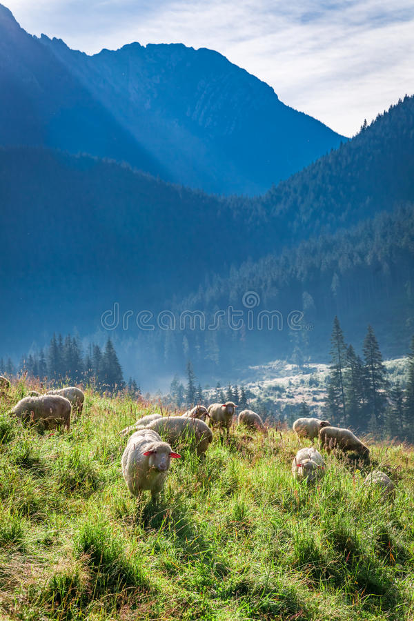 Θαυμάσιο κοπάδι των προβάτων κατά τη βοσκή στην αυγή, βουνά Tatra στοκ φωτογραφίες με δικαίωμα ελεύθερης χρήσης