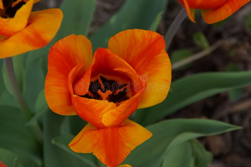 Θαυμάσιο λουλούδι με ένα πορτοκαλί ζωηρό χρώμα Μπροστινή όψη στοκ φωτογραφίες με δικαίωμα ελεύθερης χρήσης