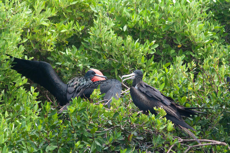 Θαυμάσιο Frigatebird (Fregata magnificens) στοκ φωτογραφία με δικαίωμα ελεύθερης χρήσης