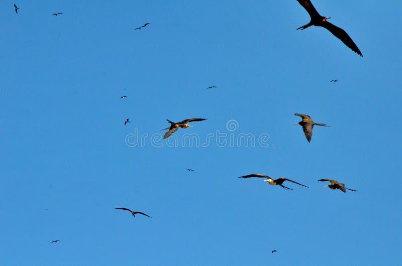 Θαυμάσιο Frigatebirds κατά την πτήση στοκ εικόνα