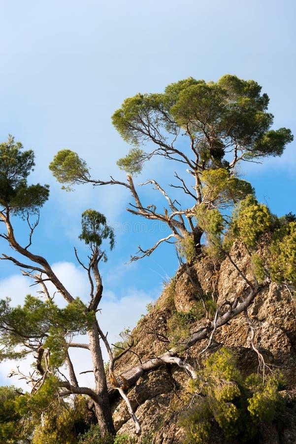 Θαλάσσια πεύκα χαλασμένα από τη θύελλα - Ιταλία στοκ εικόνες