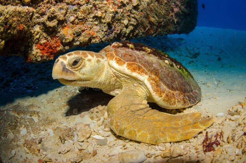 Θαλάσσια χελώνα. στοκ φωτογραφία με δικαίωμα ελεύθερης χρήσης