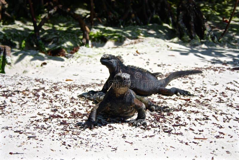 Θαλάσσιο Iguanas, Galapagos νησιά, Ισημερινός στοκ εικόνα