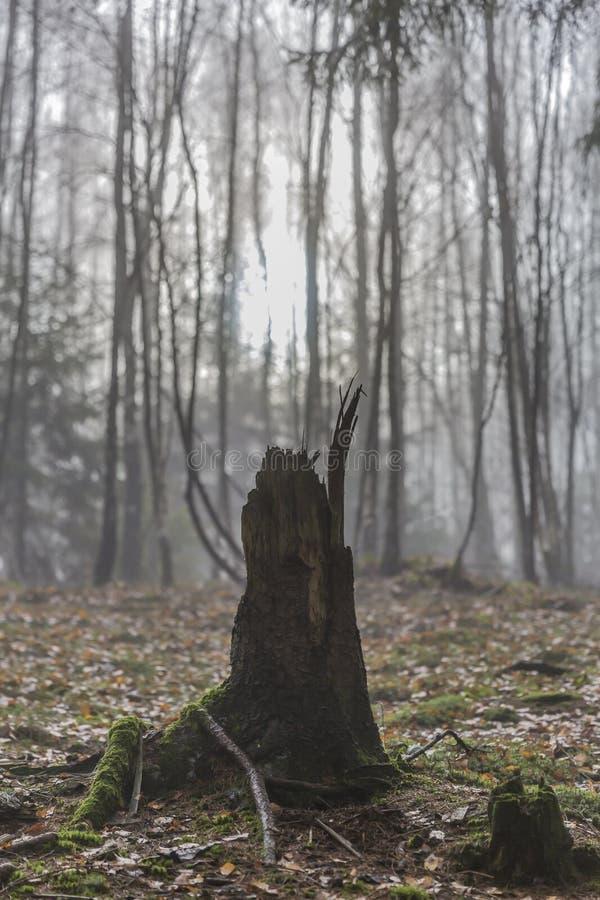 Θεαματική εικόνα ενός κολοβώματος ενός δέντρου με τις ρίζες του που εκτίθενται με τα ξηρά φύλλα στο έδαφος στα fores στοκ εικόνες