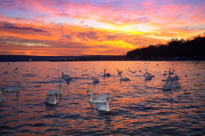 Θεαματικοί ουρανός και κύκνοι ηλιοβασιλέματος στοκ εικόνες με δικαίωμα ελεύθερης χρήσης