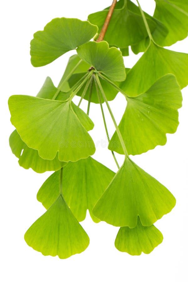 Θεραπεύοντας εγκαταστάσεις: bilboa ginko που πολύ ginko βγάζει φύλλα απομονωμένος στο άσπρο υπόβαθρο στοκ εικόνες