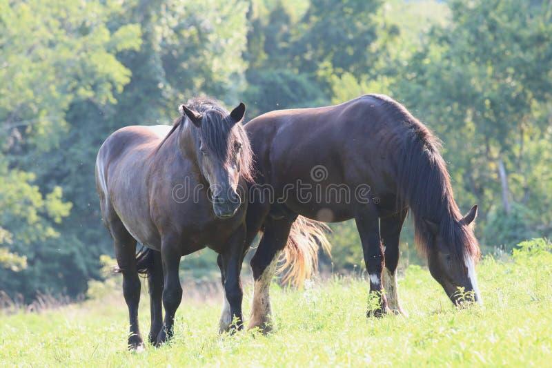 Θερινά άλογα που βόσκουν σε ένα λιβάδι στοκ εικόνες