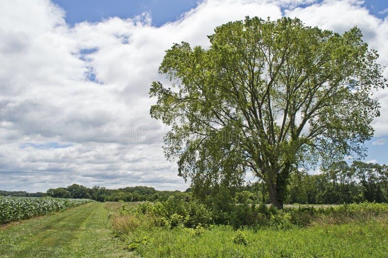 Θερινά δέντρο και πεδίο στοκ φωτογραφίες με δικαίωμα ελεύθερης χρήσης