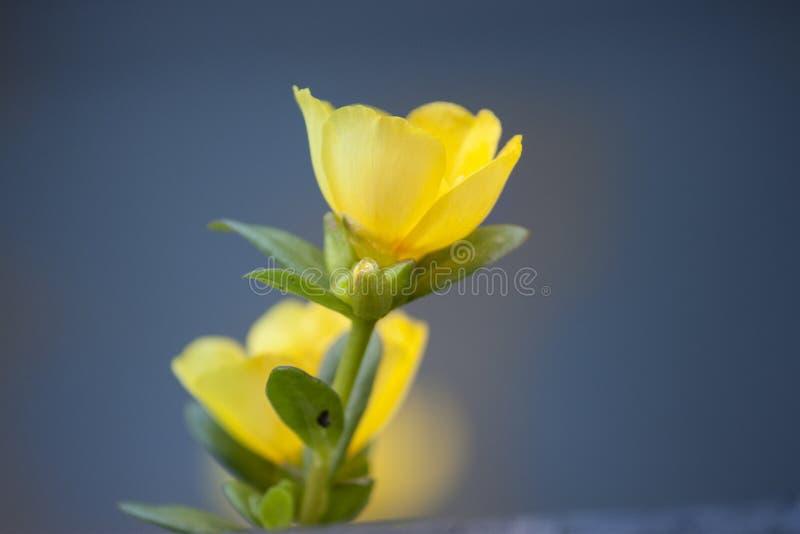 Θερινά κίτρινα λουλούδια, κίτρινα λουλούδια, λουλούδια εγκαταστάσεων στοκ εικόνες
