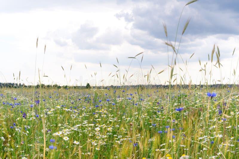 Θερινά λουλούδια στο λιβάδι chamomile και άγρια λουλούδια cornflowers στο ρωσικό τομέα και τον μπλε ουρανό σύννεφων στοκ φωτογραφίες με δικαίωμα ελεύθερης χρήσης