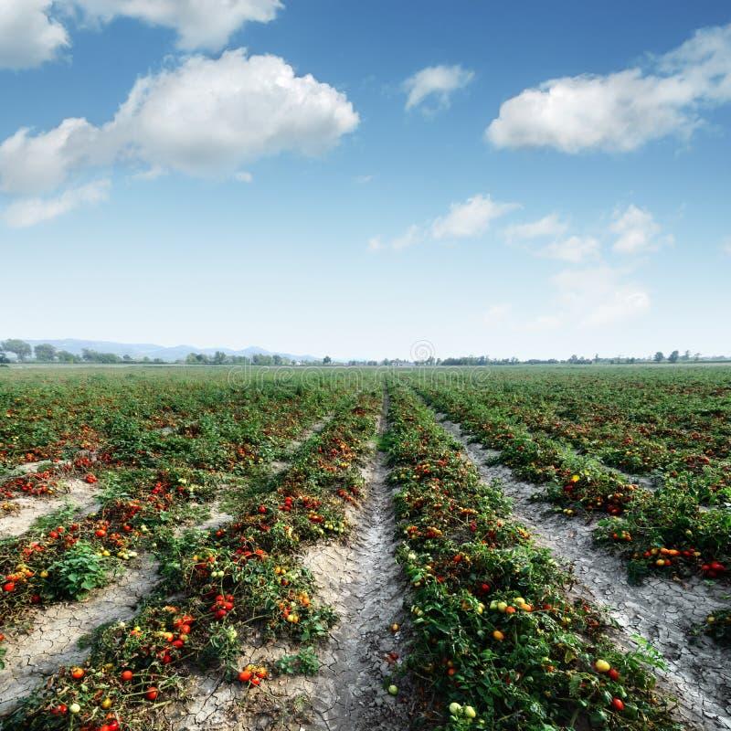 θερινή ντομάτα πεδίων ημέρα&sigma στοκ φωτογραφίες