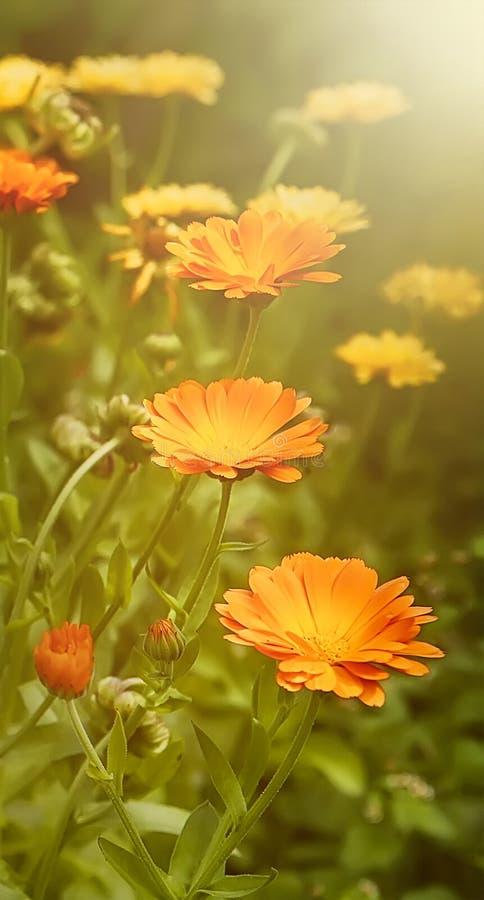 Θερινή ταπετσαρία Beautifu με Marigold τα λουλούδια στοκ φωτογραφίες με δικαίωμα ελεύθερης χρήσης
