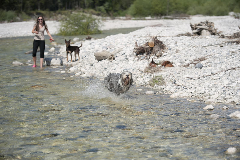 Θερινή χαρά με τα σκυλιά στο νερό στοκ εικόνα με δικαίωμα ελεύθερης χρήσης