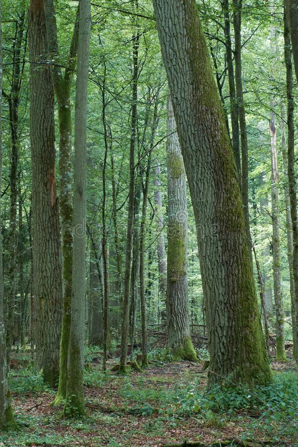 Θερινή ώρα φυλλοβόλο αρχέγονο δέντρο στοκ φωτογραφία