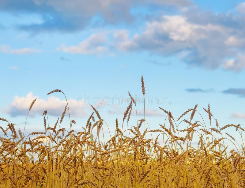Θερινό ηλιόλουστο τοπίο: Χρυσός τομέας σίτου με το μπλε ουρανό ως φύση Β στοκ φωτογραφίες με δικαίωμα ελεύθερης χρήσης