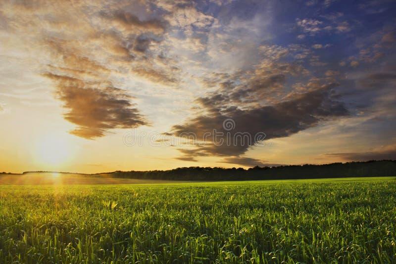 Θερινό ηλιοβασίλεμα στον τομέα καλαμποκιού στοκ εικόνα