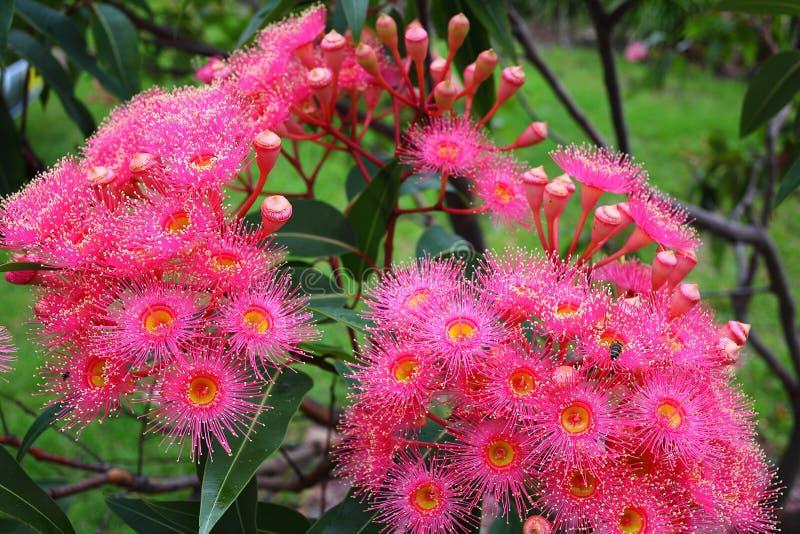 Θερινό κόκκινο ανθίσματος Corymbia στοκ εικόνες