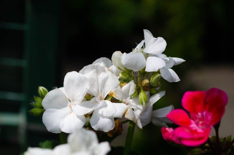Θερινό τοπίο με τα άσπρα λουλούδια στοκ φωτογραφίες