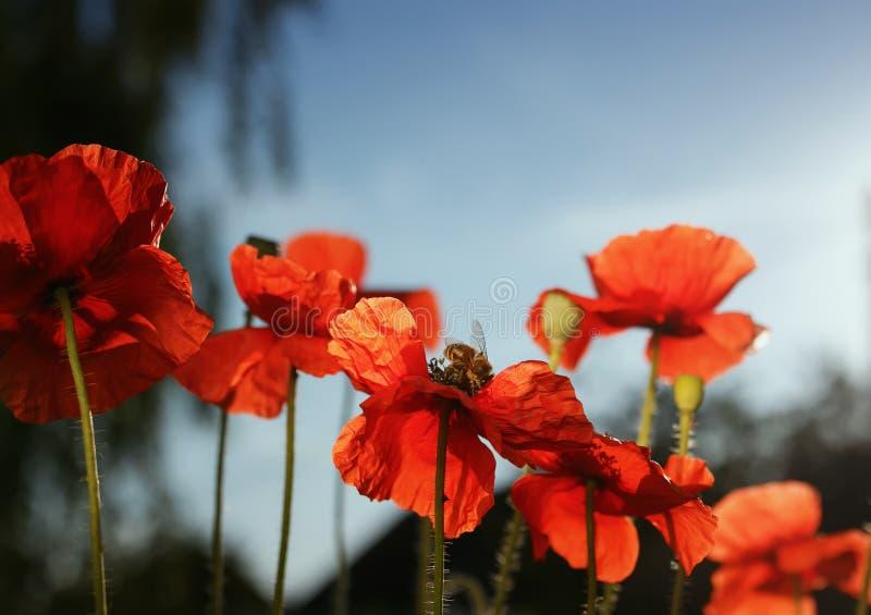Θερινό τοπίο με με τα κόκκινα όμορφα λουλούδια παπαρουνών στο μπλε στοκ εικόνες