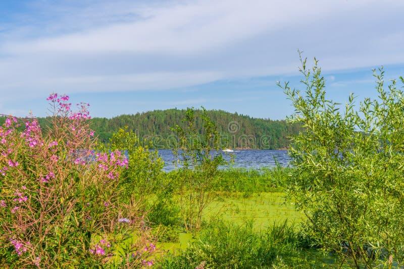 Θερινό τοπίο με την ακτή υγρότοπου της λίμνης στην ηλιόλουστη ημέρα Ο Μπους ιτιών και η άνθιση ενάντια στον κόλπο και το μπλε ουρ στοκ εικόνες