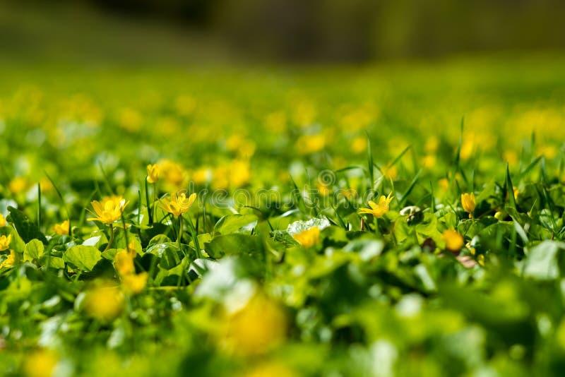 Θερινό υπόβαθρο - φρέσκα κίτρινα wildflowers μεταξύ πολύβλαστης πράσινης GR στοκ φωτογραφία