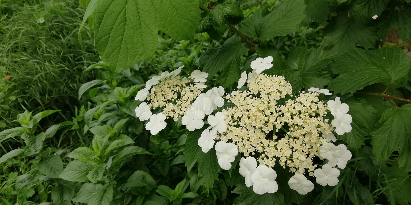 Θερινό floral υπόβαθρο Λεπτές άσπρες επανθίσεις του viburnum σε ένα κλίμα των σκούρο πράσινο φύλλων Φωτεινή αντίθεση στοκ εικόνες