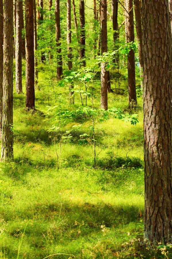 Θερινό pinewood με το νέο δρύινο δέντρο Σκωτσέζικα ή σκωτσέζικα δέντρα sylvestris πεύκων πεύκων στο αειθαλές κωνοφόρο δάσος στοκ εικόνα με δικαίωμα ελεύθερης χρήσης