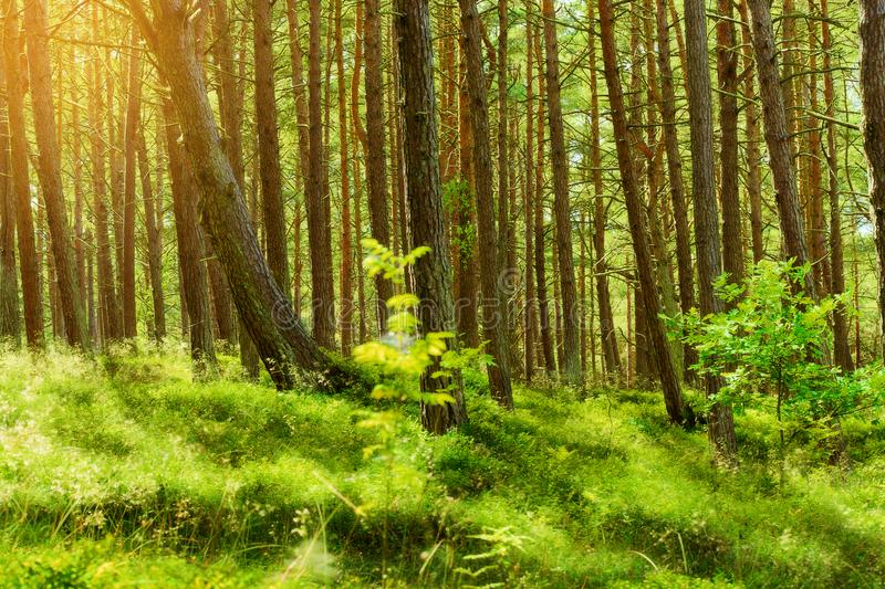 Θερινό pinewood Σκωτσέζικα ή σκωτσέζικα δέντρα sylvestris πεύκων πεύκων στο αειθαλές κωνοφόρο δάσος στοκ εικόνες