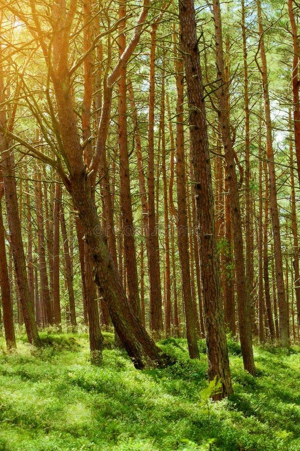 Θερινό pinewood Σκωτσέζικα ή σκωτσέζικα δέντρα sylvestris πεύκων πεύκων στο αειθαλές κωνοφόρο δάσος στοκ φωτογραφία με δικαίωμα ελεύθερης χρήσης