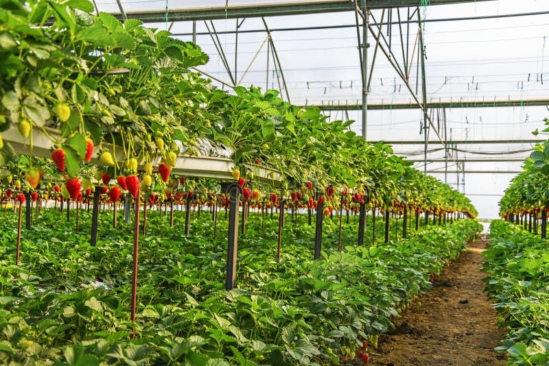 Θερμοκήπια φραουλών στοκ εικόνα με δικαίωμα ελεύθερης χρήσης