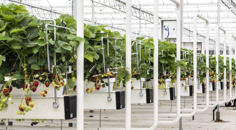 Θερμοκήπιο φραουλών σε Gravenzande Westland στοκ εικόνες