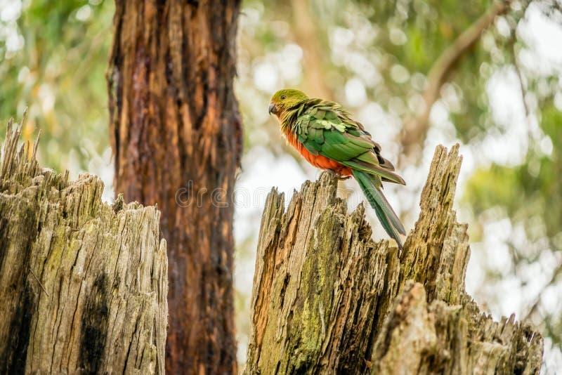 Θηλυκά αυστραλιανά scapularis Alisterus βασιλιάς-παπαγάλων που στηρίζονται σε ένα δέντρο στοκ εικόνα