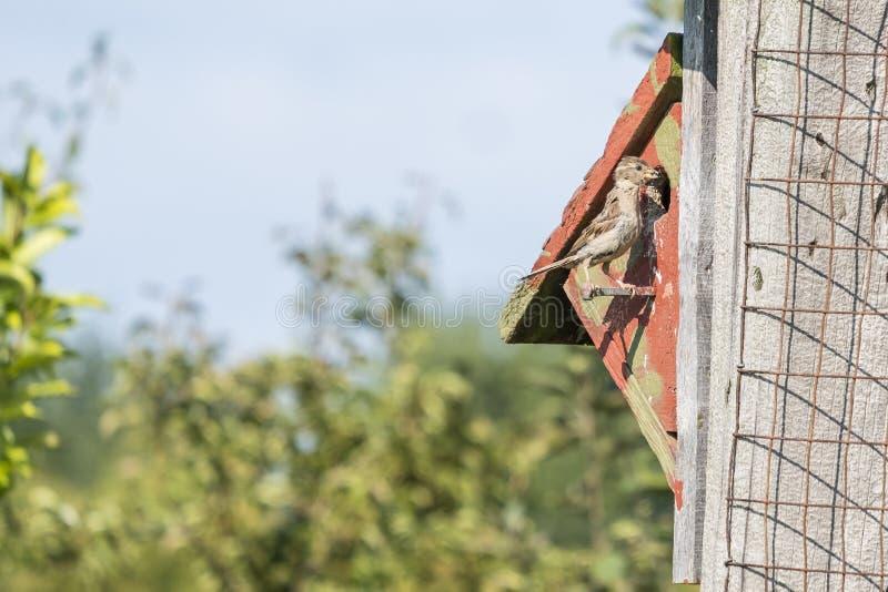 Θηλυκά φέρνοντας τρόφιμα σπουργιτιών στο ράμφος της 2 στοκ φωτογραφία με δικαίωμα ελεύθερης χρήσης