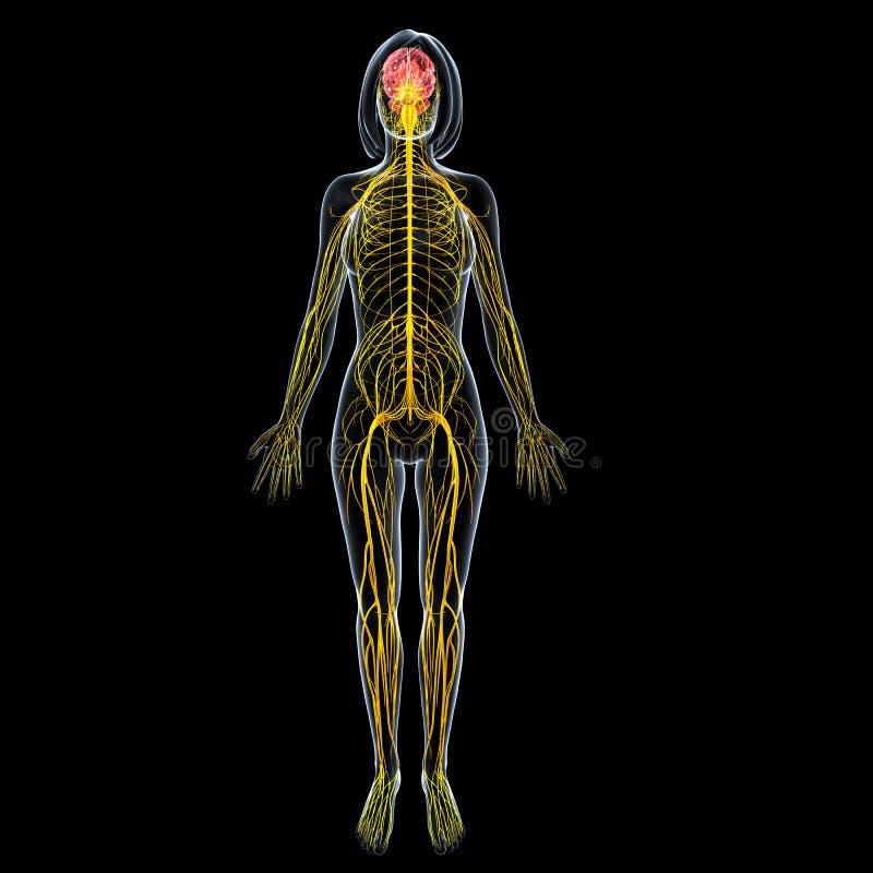 Θηλυκή ανατομία εγκεφάλου με το πλήρες νευρικό σύστημα σωμάτων ελεύθερη απεικόνιση δικαιώματος