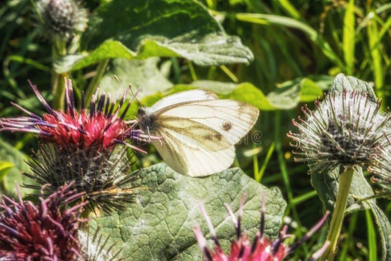 Θηλυκή ευρωπαϊκή μεγάλη πεταλούδα λευκού λάχανων στοκ φωτογραφία με δικαίωμα ελεύθερης χρήσης