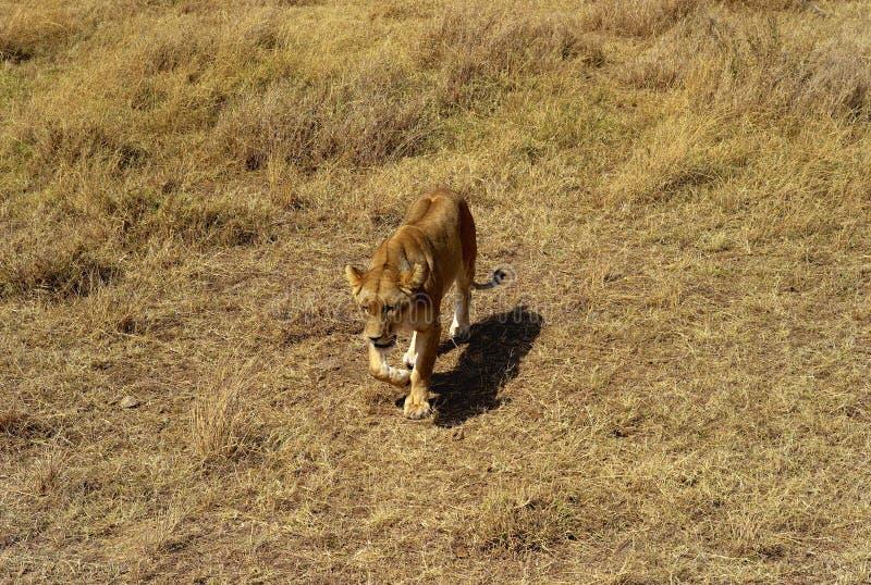 Θηλυκή καταδίωξη λιονταριών στο Serengeti στοκ εικόνες
